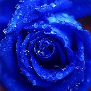 Blau Rose