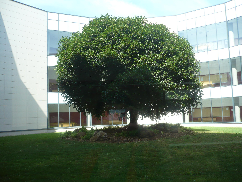 Oana: «Copacul universitar»