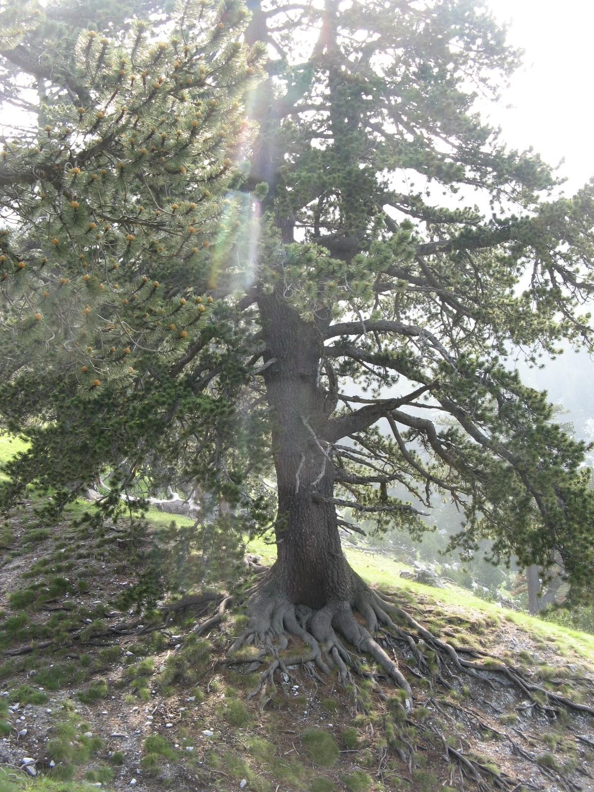 Călin Hera: «Rădăcinile pădurii»