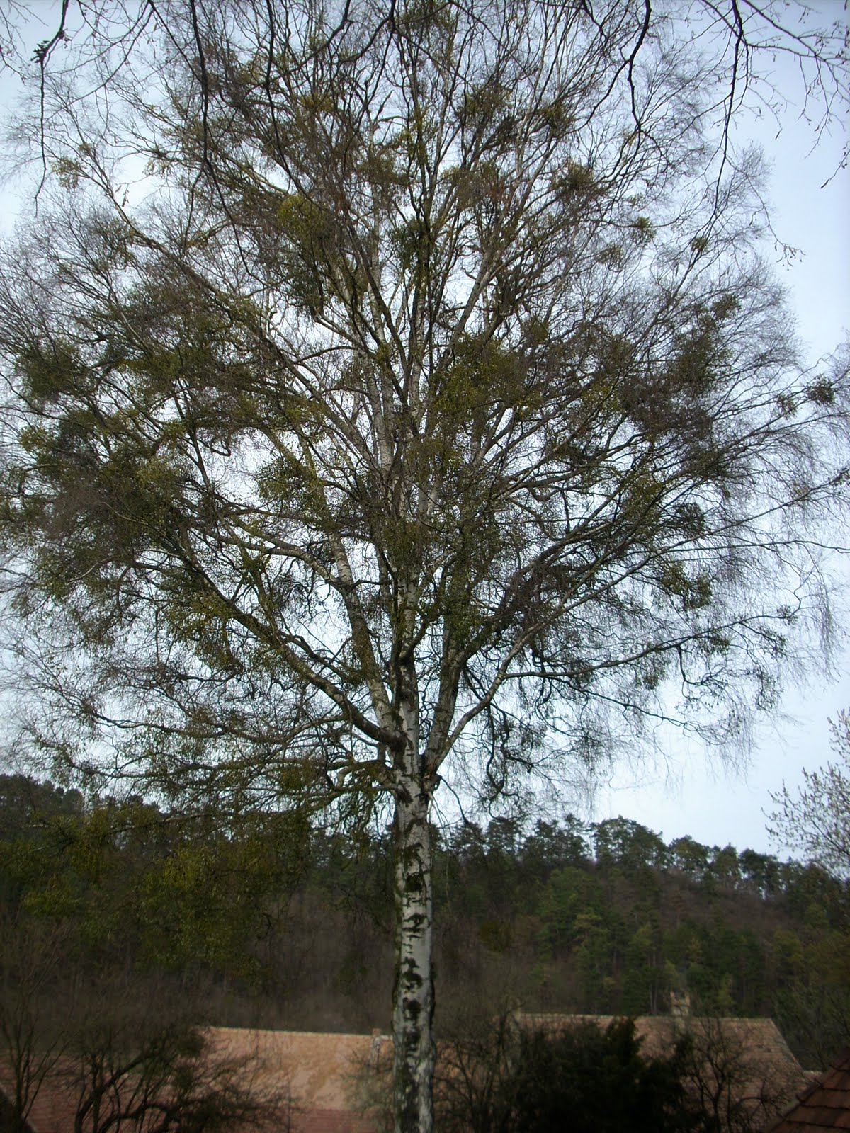 LePetitPrince: «Un copac cu noroc»
